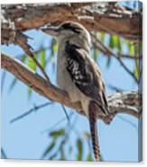 Kookaburra On A Branch Canvas Print