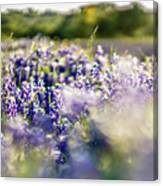 Lavender Purple Flower Blooming On Side Road In Texas At Sunset Canvas Print