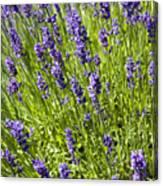 Lavender Scent Canvas Print