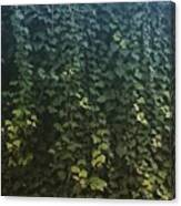 Leaf Of The Ivy   Canvas Print
