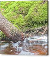 Leaning Tree Trunk By A Stream Canvas Print