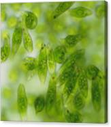 Light Micrograph Of A Group Of Euglena Gracilis Canvas Print