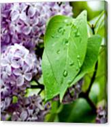 Lilac Drops Canvas Print