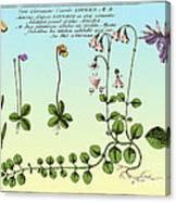 Linnaea Borealis, Linnaeuss Favorite Canvas Print