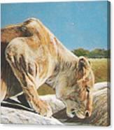 Lion Low Canvas Print