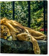 Lion Relaxing Canvas Print
