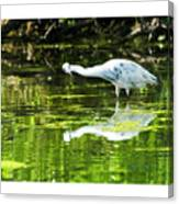 Little Blue Heron Fishing Canvas Print