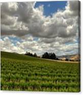Livermore Vineyard Canvas Print