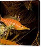 Longnose Hawkfish Canvas Print