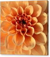 Lovely In Peaches And Cream - Dahlia Canvas Print