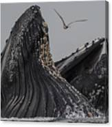 Lunge-feeding Humpback Whales In Monterey Bay Canvas Print