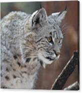 Lynx In A Crouch Ready To Pounce Canvas Print