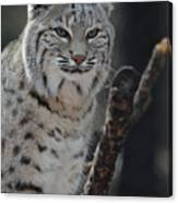 Lynx Perched In A Tree Canvas Print