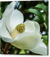 Magnolia Bloom IIi Canvas Print