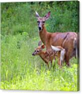Maine White Tailed Deer Canvas Print