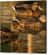 Mallards Swimming In The Water At Magic Hour Canvas Print