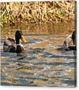 Mallards On Pond Canvas Print