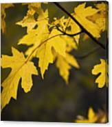 Maple Leafs Of Yellow Canvas Print