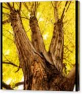 Maple Tree Portrait 2 Canvas Print
