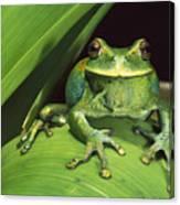 Marsupial Frog Gastrotheca Orophylax Canvas Print