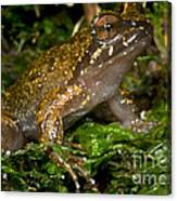 Mehu�n Green Frog Canvas Print