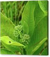 Milkweed Flower Buds  Canvas Print