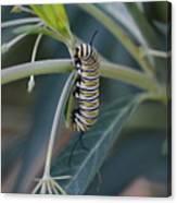 Monarch Catterpillar  Canvas Print