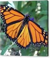 Monarch - Perfection Canvas Print