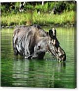 Moose In The Elk Creek Beaver Ponds Canvas Print