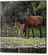 Mother And Foal Wild Salt River Horses Canvas Print