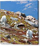 Mountain Goats On Mount Bierstadt In The Arapahoe National Forest Canvas Print