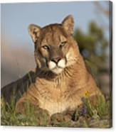 Mountain Lion Portrait North America Canvas Print