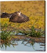 Mourning Dove In Flight Canvas Print