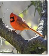 Mr Northern Cardinal Canvas Print