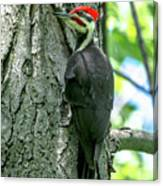 Mr. Pileated Woodpecker Canvas Print