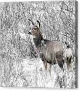 Mule Deer In Winter In The Pike National Forest Canvas Print