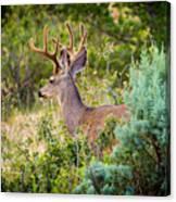 Mule Deer Canvas Print