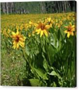 Mule Ear Sunflowers Canvas Print