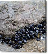 Mussels Rock Canvas Print