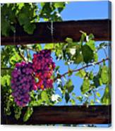 Napa Valley Inglenook Vineyard -2 Canvas Print