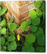 Nasturtium Leaves Canvas Print