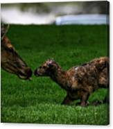 Newborn Elk Canvas Print