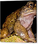Noras Spiny Chest Frog Canvas Print