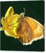Ochre Ringlet Butterfly Canvas Print
