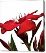 Oleander Blood-red Velvet 3 Canvas Print