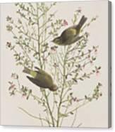Orange Crowned Warbler Canvas Print