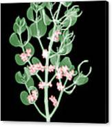 Pacific Mistletoe, Phoradendron Canvas Print