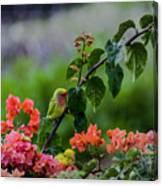 Parakeet South Maui Canvas Print