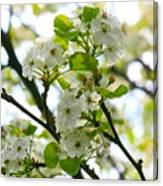 Pear Tree Blossoms Canvas Print