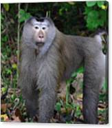Pig-tailed Macaque Canvas Print